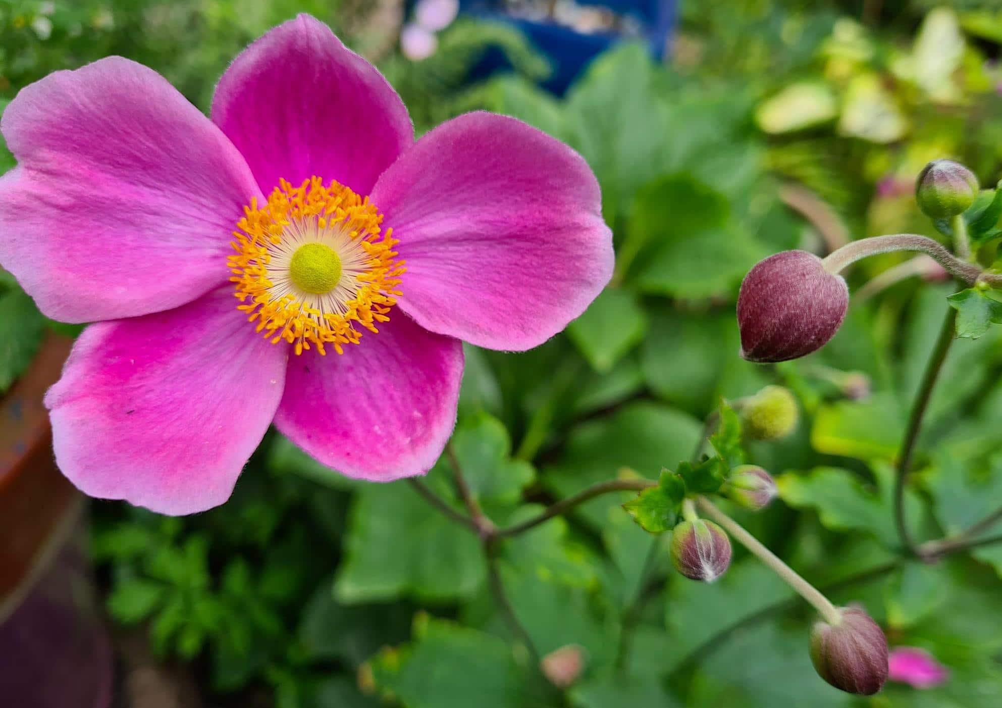divide anemones